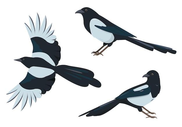 Set di uccelli gazza gazze in pose diverse isolate su bianco