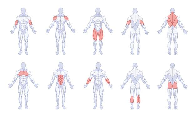 Anatomia maschile con parti del corpo in allenamento figura in piedi davanti e dietro