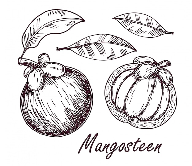 Disegno di frutta e foglie di mangostano. illustrazione disegnata a mano della frutta tropicale. frutta estiva incisa. oggetti interi e affettati con foglie. schizzo vintage botanico.