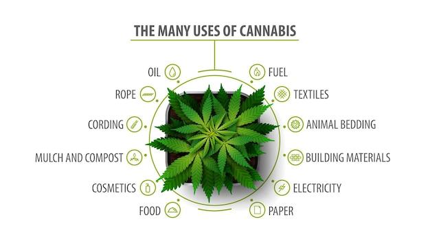 Molti usi della cannabis, poster bianco con infografica e greenbush della pianta di cannabis, vista dall'alto