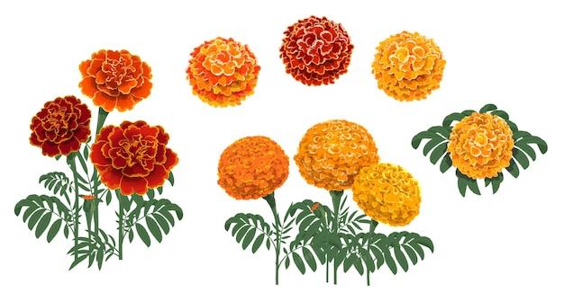 Fiori di calendula, foglie e boccioli. tagetes rossi e arancioni o fiori che sbocciano cempasuchil, dia de los muertos messicano, festa del giorno dei morti e decorazioni floreali vettoriali per il festival indiano diwali