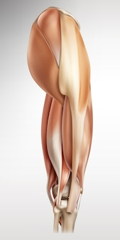 Illustrazione medica dei muscoli umani anca e gamba lato destro della vista Vettore Premium
