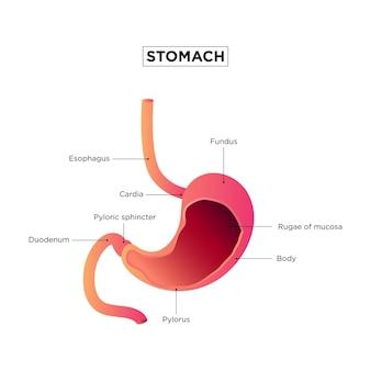 Poster medico all'interno dello stomaco