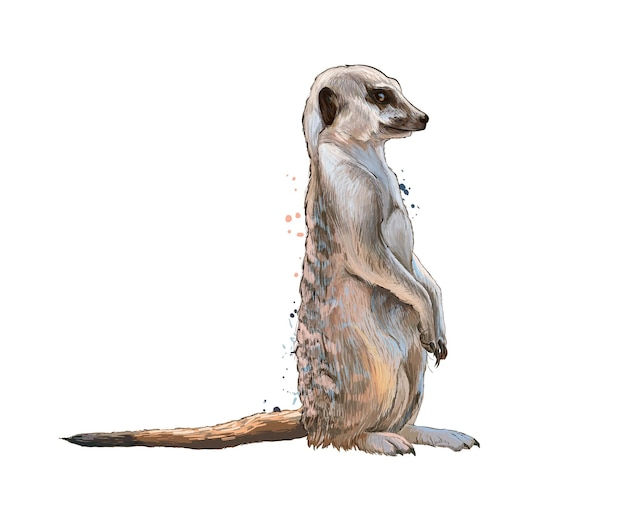 Meerkat da una spruzzata di acquerello, disegno colorato, realistico. illustrazione vettoriale di vernici