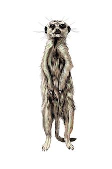 Acquerello di meerkat.