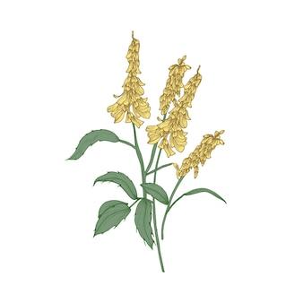 Meliloto o fiori di trifoglio dolce o infiorescenze, steli e foglie isolati su sfondo bianco.