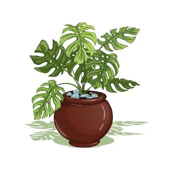 Monstera. pianta domestica in vaso. isolato.