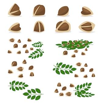 Semi di moringa oleifera e ramo con foglie set