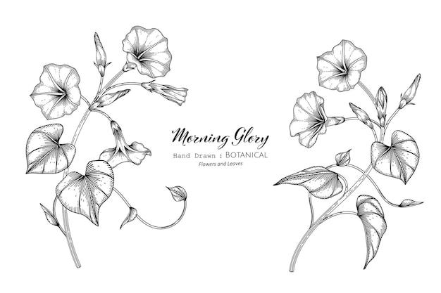 Illustrazione botanica disegnata a mano di fiori e foglie di gloria mattutina con line art.
