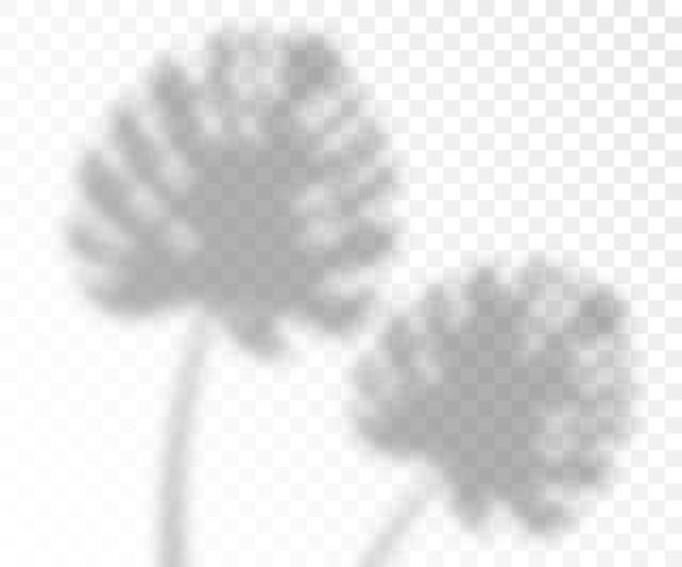 Effetto di ombre di illuminazione naturale sovrapposta delle foglie di monstera, realistico su sfondo trasparente. modello fotorealistico di foglia tropicale.