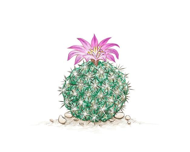 Neolloydia cactus con fiore rosa una pianta succulenta con spine appuntite per la decorazione del giardino