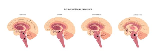 Via neurochimica nel cervello. diagramma serotonina, dopamina, acetilcolina e noradrenalina