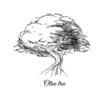 Schizzo di inchiostro di vettore disegnato a mano di vecchio olivo