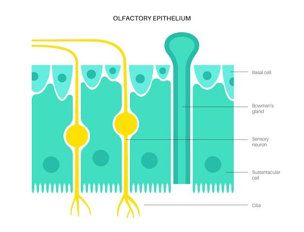 Anatomia dell'epitelio olfattivo