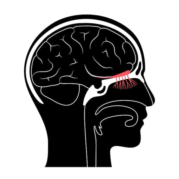 Anatomia del nervo olfattivo