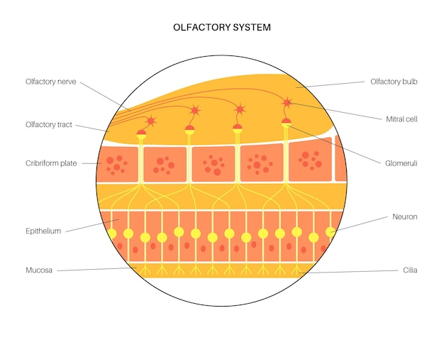 Anatomia del sistema olfattivo