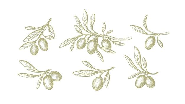 Set verde oliva natura vettoriale ramo rustico schizzo frutta foglie vintage isolate
