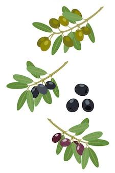 Raccolta di olive e rami di ulivo. ramo di olive greche, ramoscelli dell'albero dell'alimento estivo e illustrazione delle foglie