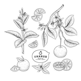 Illustrazioni disegnate a mano di frutta arancione.