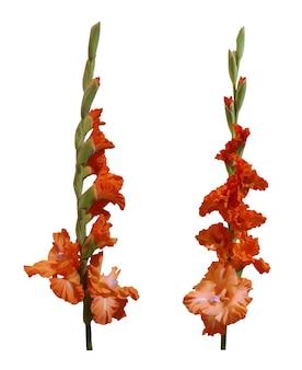 Set di fiori di gladiolo arancione Vettore Premium