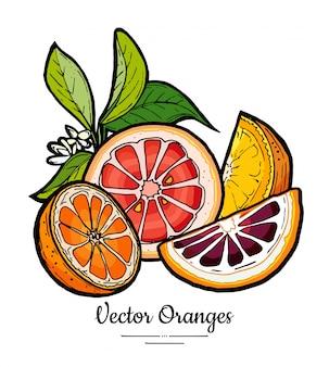 Le arance hanno messo il vettore isolato. mezza arancia tagliata, fette di pompelmo rosa rosso, foglie di fiori.