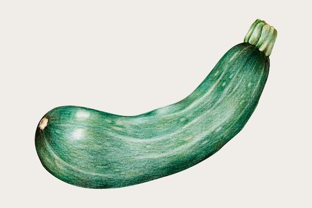 Vettore dell'annata delle zucchine organiche disegnato a mano