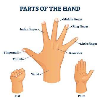 Parti dell'illustrazione del vocabolario della mano. struttura del palmo con etichetta con nomi per braccia e falangi.