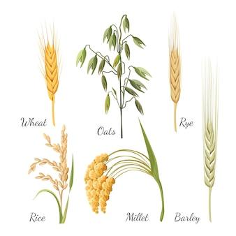Modello con cereali in stile realistico su sfondo bianco. erba d'orzo, grano dorato, una segale, chicchi di riso, miglio giallo e illustrazione di avena verde