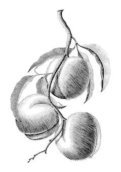 Illustrazione d'annata dell'incisione del disegno della mano del ramo della pesca su fondo bianco