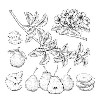 Elementi botanici disegnati a mano di frutta pera.