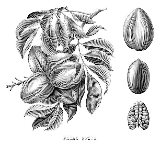 Pecan botanico disegno a mano incisione stile clip art in bianco e nero su bianco