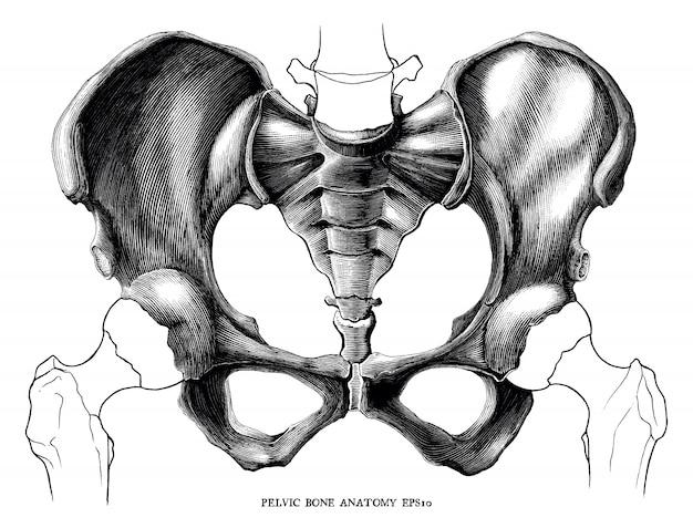 Illustrazione d'annata dell'incisione di anatomia dell'osso pelvico isolata su fondo bianco