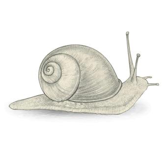 Illustrazione naturalistica realistica della lumaca del disegno a matita