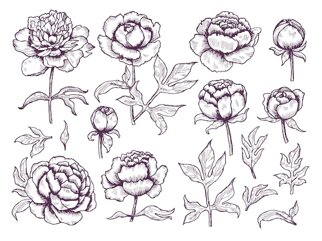 Doodle di peonie. collezione disegnata a mano botanica di immagini floreali di foglie e boccioli