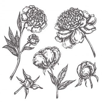 Fiori di peonia disegno schizzo floreale botanica raccolta fiori disegnati a mano isolati su bianco