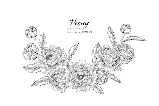 Illustrazione botanica disegnata a mano di fiori e foglie di peonia con line art.