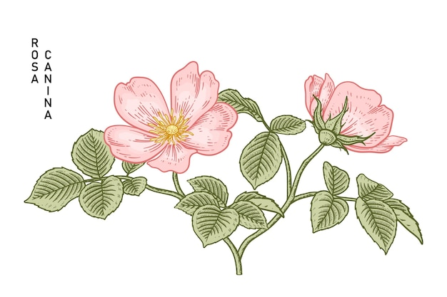 Rosa canina (rosa canina) fiore illustrazioni disegnate a mano.