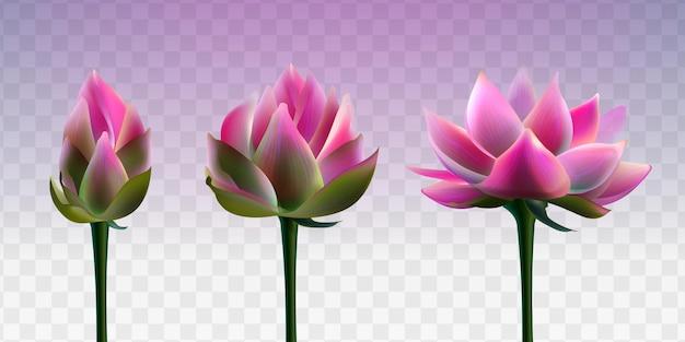 Fiore di loto rosa con bocciolo apribile