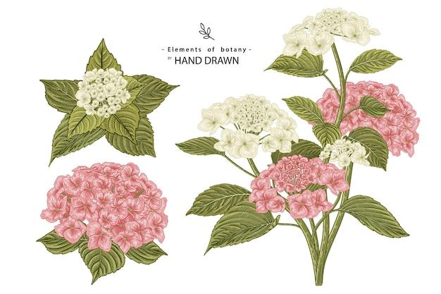 Illustrazioni botaniche disegnate a mano del fiore dell'ortensia rosa e bianca.