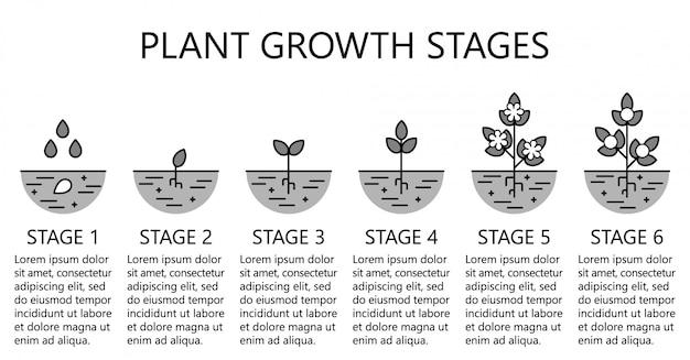 Infographics di fasi di crescita delle piante. icone di linea arte. modello di istruzioni di impianto. illustrazione di stile lineare isolata on white.