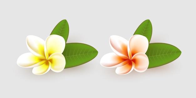 Fiore di plumeria con foglie isolate.