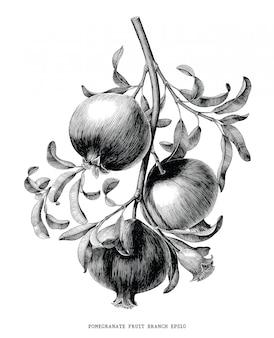 Illustrazione d'annata botanica dell'incisione del ramo della frutta del melograno isolata su fondo bianco