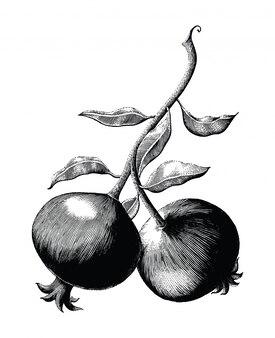 Illustrazione d'annata dell'incisione del disegno della mano del ramo della frutta del melograno su fondo bianco