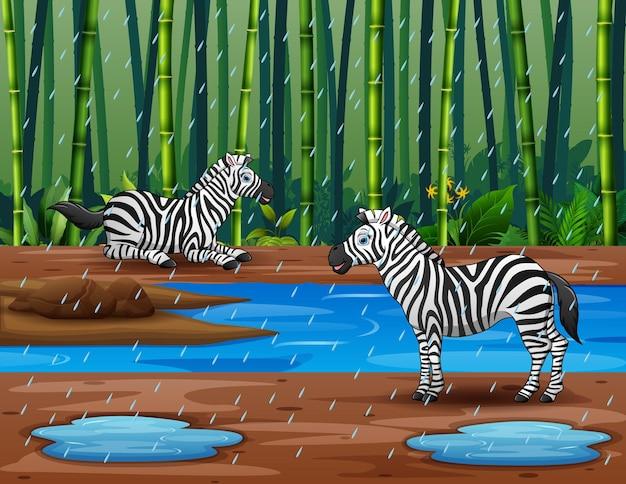 Stagione delle piogge con zebra nella foresta di bambù