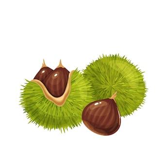 Illustrazione di castagne crude. dolci castagne americane commestibili con le sue bave spinose e noci. castanea sativa isolata