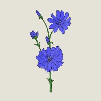 Disegno botanico realistico di cicoria con fiori viola e boccioli che crescono sul gambo verde. elegante pianta erbacea medicinale disegnata a mano in stile antico. illustrazione naturale.