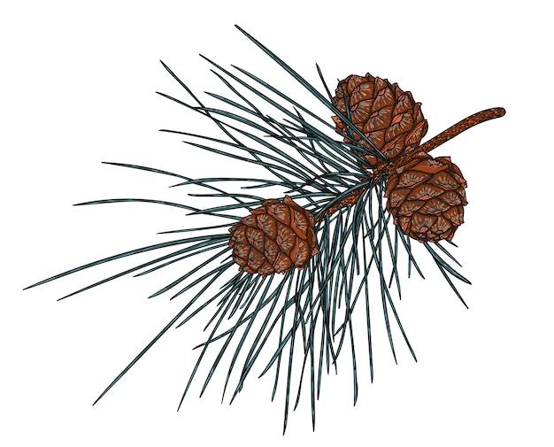 Realistico ramo di cedro con coni, illustrazione