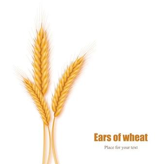 Spighe di grano realistiche su uno sfondo bianco con spazio per il testo