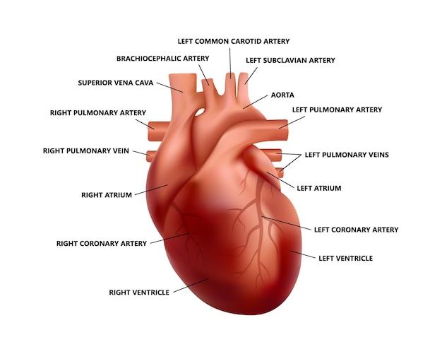 Anatomia realistica del cuore con descrizioni. schema dell'illustrazione del cuore umano anatomicamente corretta.