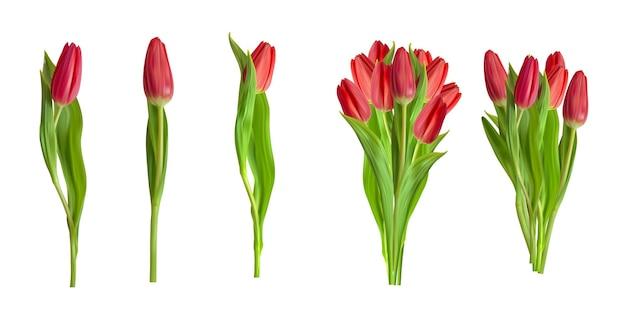 Collezione realistica di tulipani rossi